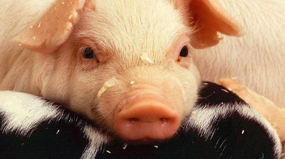 Traumdeutung schwein