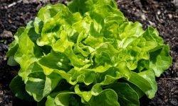 16 Gründe, warum Grüner Salat so gesund ist
