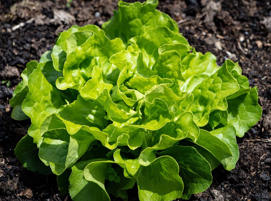 Grüner Salat gesund
