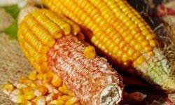 13 Gründe, warum Mais so gesund ist